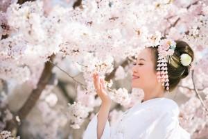 新娘和京都的櫻華